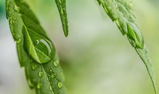 nasiona konopii indyjskiej - liść
